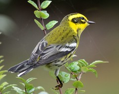 Townsend's Warbler (Schnapschot) Tags: bird vancouverisland victoriabc townsendswarbler dendroicatownsendi