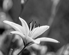 Vintage Lily