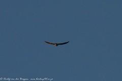 Taita Falcon, Victoria Falls, Zambia, Jun 2013 (roelofvdb) Tags: june places vic victoriafalls date falcons zambia 176 2013 southernafricanbirds taitafalcon falcontaita