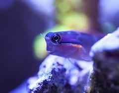 tail spot blenny (Brian Patrick Photography) Tags: macro underwater tank tail spot pico reef nano saltwater blenny