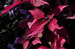 Pleasant Red (BKHagar *Kim*) Tags: red plant nature garden al alabama botanicalgardens huntville bkhagar