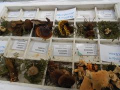 2013_Laudio_perretxiko eguna_014 (aiaraldea.com) Tags: mikologia onddo perretxiko erakusketa perretxikoeguna