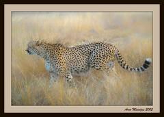 Framed Combos (Arno Meintjes Wildlife) Tags: wallpaper art cheetah combo acinonyxjubatus arnomeintjes