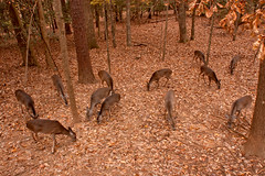 Dinner Time Deer (2) (tommaync) Tags: november trees brown nature oneaday leaves animal nc nikon wildlife tan northcarolina deer photoaday pictureaday chathamcounty d40 project365 2013 project365316 project365111713