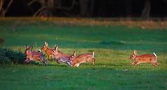 Kindergarten (Rolf Piepenbring) Tags: rabbit ngc coelho kaninchen karnickel