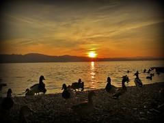 IMG_3023 - sunset 29 nov.2013 (RRT:D*:D*) Tags: sunset sky italy orange lake bird birds animal animals lago swan tramonto cielo arancio animali animale cigno rrtdd