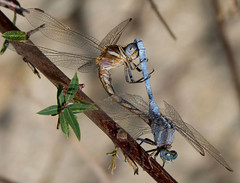 Mating Epaulet Skimmers. Orthetrum chrysostigma. (gailhampshire) Tags: spain dragonflies mating skimmers orthetrum epaulet chrysostigma taxonomy:binomial=orthetrumchrysostigma