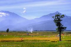 Bhumi Surgawi DSCF8429 (franciscus nanang triana) Tags: travel landscape foto rice harvest padi gunung semarang documentation sawah triana paddies nanang franciscus pohon ambarawa panen menguning bawen canonltm50mmf14 fujixe1