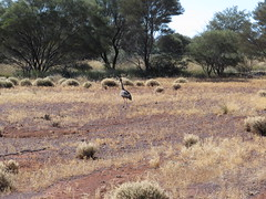 Bustard on the Gunbarrel Hwy... Australian Bustard (Ardeotis australis) (spelio) Tags: birds wildlife outback bustard
