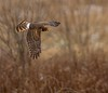 Northern Harrier (snooker2009) Tags: winter snow fall nature birds animal sunrise outdoors wildlife small raptor migration northern harrier d800 thewonderfulworldofbirds dailynaturetnc12 dailynaturetnc13