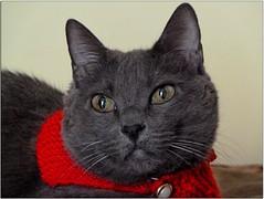 SuperCat (^_*)!! (antonè) Tags: cat chat colore inverno rosso gatto sassari freddo gennaio mussy antonè coth5 flickrhivemindgroup sciarpainlana