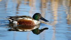 Northern Shoveler, Anas clypeata (markvcr) Tags: duck ngc richmond northernshoveler reifel dabbler anasclypeata westham