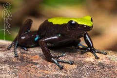 Climbing Mantella (Mantella laevigata) (Rob Schell Photography) Tags: africa island amphibian frog madagascar nosymangabe anuran mantellinae mantellidae iucnnearthreatened mantellalaevigata climbingmantella