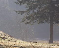 (Gerlinde Hofmann) Tags: mist germany village thuringia conifer nadelbaum bürden