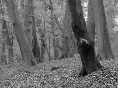 Woods (Stephen Marriott) Tags: autumn trees blackandwhite monochrome mono woods 60mmf28macro sharpenerpro3 silverefexpro2 olympusomdem5