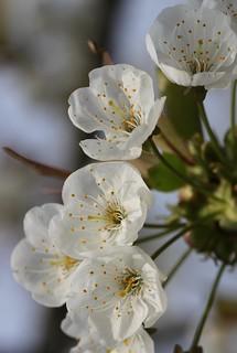 Merisier (Prunus avium)