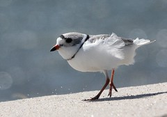 Piping Plover, Chatham, MA 4/9/14 (petertrull) Tags: elements