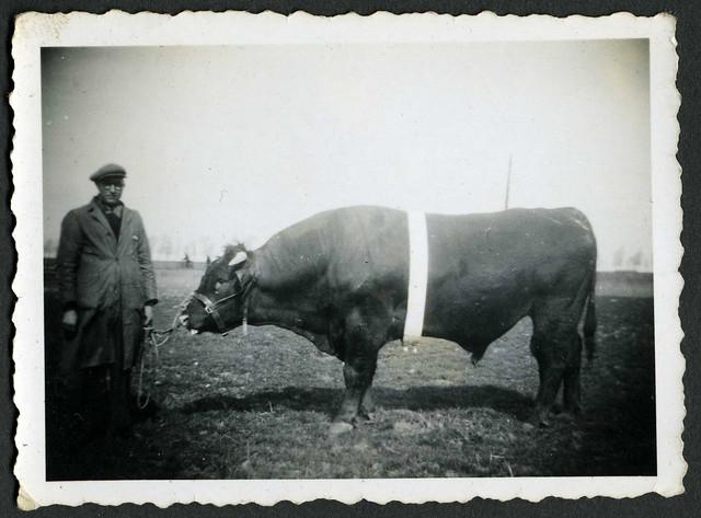 Etienne Cuypers van het Noordhof met stier Dedé in 1944 - Mia Everaert