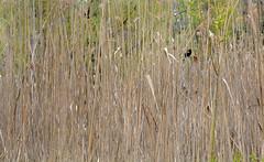 blackbird in the grass (Mr.  Mark) Tags: park red bird nature grass animal photo sticks stock hidden perch blackbird markboucher