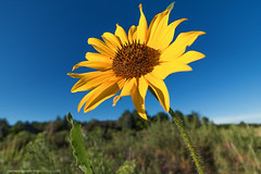 Taste the Summer (Darhawk) Tags: flowers summer sky sun flower birds yellow colorado bees insects denver sunflower bloom songbirds sunflowerseeds catchycolorsyellow parkercolorado wildsunflower