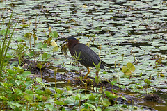 Sizing up the meal (holdit.) Tags: fish bird heron fishing catch swallow position hunt gulp wader greenheron butoridesvirescens watern