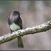Dapper Flycatcher