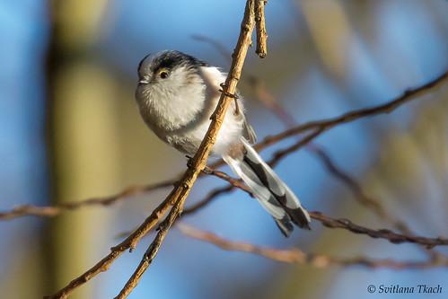 Aegithalos caudatus / Long-tailed tit / Длиннохвостая синица / Halemejse