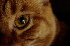 (Kaylyn Dunn) Tags: cat cateye eye intense furbaby cute ginger gingerkitty kitty purr pets gaze kaylyndunn kaylynchrystaldunnphotography kaylyndunnphotography 2016 canada aurora