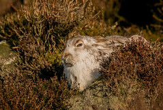 Mountain Hare (Brent Hardy) Tags: mountainhare bbcwinterwatch bbcspringwatch lepustimidus nationalgeographicwildlife wildlife peakdistrict canonef400mmf56lusm uk canon darkpeaks derbyshire