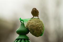 Passera. Female Sparrow. (omar.flumignan) Tags: passera femalesparrow bird uccello casadellecincie houseoftits canon eos 7d ef100400f4556lisusm ngc allnaturesparadise