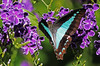 Bluebottle Butterfly 009 (DMT@YLOR) Tags: butterfly topview geishagirl purple blue goodna ipswich queensland australia yard garden
