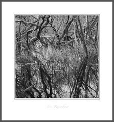 """Synapse ii"" - Lizard Peninsula, Cornwall (Joe Rainbow) Tags: landscape film bw delta400 trees mamiyarz67proii reflections cornwall"