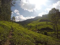 Here's a pic at the Tea Plantations outside Munnar (ConveyancingPro) Tags: india kerala munnar travel tea fields plantation green sun