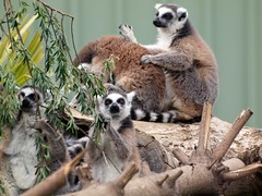 Lemur in a Mob Grooming (publicdomainphotography) Tags: animals body bunch bunching bundle catta cold conspiracy cuddling feeling funny group grouped heat huddle huddling hugging keep keeping lemurs look meme packed pile piling preserving primates ringtailed sharing squashed squeezed temperature tightly together warm warmth wildlife lemur madagascar