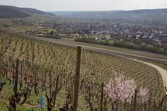 2017-04-01 Weinprobe 0465 (waltemi) Tags: 2017weinprobe thüngersheim weinstock bayern deutschland de