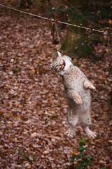Lynx at a prey simulator (Cloudtail the Snow Leopard) Tags: luchs lynx katze cat feline animal tier säugetier mammal beutegreifer predator pinselohr sprung springen jump jumping wildpark pforzheim
