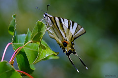 Flambé (jpto_55) Tags: papillon papillonflambé insecte macro bokeh xe1 fuji fujifilm hautegaronne france