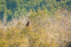 Greater Spotted Eagle (malc1702) Tags: greaterspottedeagle eagles nature birds largebirds birdonaperch nikond7100 tamron150600 birdsofprey birdsinthewild outdoor wildlife animals wildlifesanctuary birdphotography rasalkhor