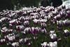 _DSC0866 (Riccardo Q.) Tags: parcosegurtàtulipani places parco altreparolechiave fiori tulipani segurtà