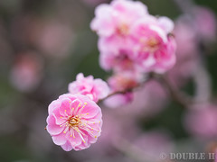 Ume blossoms at Nagaoka Tenmangu shinto shrine 2017.3 (13) (double-h) Tags: omd em10markii omdem10markii mzuikodigitaled60mmf28macro nagaokatenmangu shintoshrine shrine nagaokatenjin nagaokakyo nagaokakyocity kyoto 長岡天満宮 神社 長岡天神 長岡京 長岡京市 京都 ume umeblossom blossom flower japaneseapricot prunusmume plumblossom umetree 梅 ウメ 花 梅林