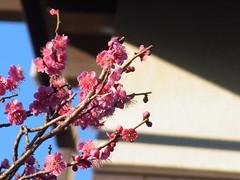 紅梅 (nofrills) Tags: flora floral blossom blossoms winter spring plum plums plumblossom tree trees urbannature urbantree 梅 ウメ 紅梅 red pink japan prunusmume