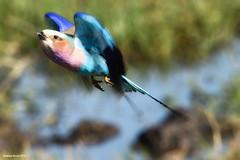 Lilac-Breasted Roller (naturalturn) Tags: fly lilacbreastedroller roller marsh wetland water river savanna khwai khwairiver botswana image:rating=5 image:id=206713