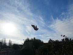 Saturday, 1st, Flying high IMG_4724 (tomylees) Tags: essex morning spring april 2017 saturday 1st aprilfool weather sky blue pigeon