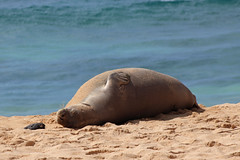Hawaiian Monk Seal (russ david) Tags: hawaiian monk seal shipwrecks beach kauai september 2016 hi hawaii ocean pacific ハワイ 風景 sleep nap