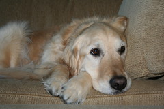 Sunny 13/52 (Lianne (calobs)) Tags: 52 weeks for dogs golden retriever
