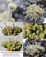 Monanthes polyphylla (collage)