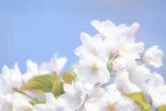 Spring color : White (Colorful-wind) Tags: 2017 april cherry color flower fujifilm fukuoka japan kitakyushu light lightandshadow nature softfocus softness white xt1