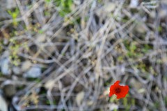 Poppy (brianfarrell) Tags: wild flower green nature floral garden spring natural blossom outdoor korea bloom southkorea jeju cheju