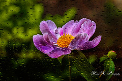 Showered! (Houry Photography -on/off) Tags: light ny flower rain drops purple bokeh peony full queens bloom lic canon7d httpswwwfacebookcompageshourysarkissiannajjarianportraitinspired284556988229419