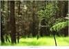 Een lariks in het bos (5D053272) (nandOOnline) Tags: licht bomen nederland natuur boom bos landschap zonlicht rips lariks compositie nbrabant stippelberg